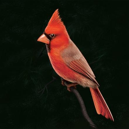 Illustration of a cardinal. (Bird)