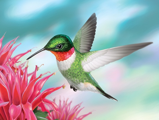 illustration of ruby throated hummingbird
