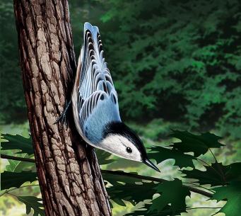 Illustration of a Nuthatch. (Bird)