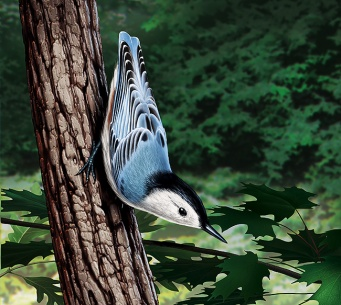 Illustration of a Nuthatch. (Bird)