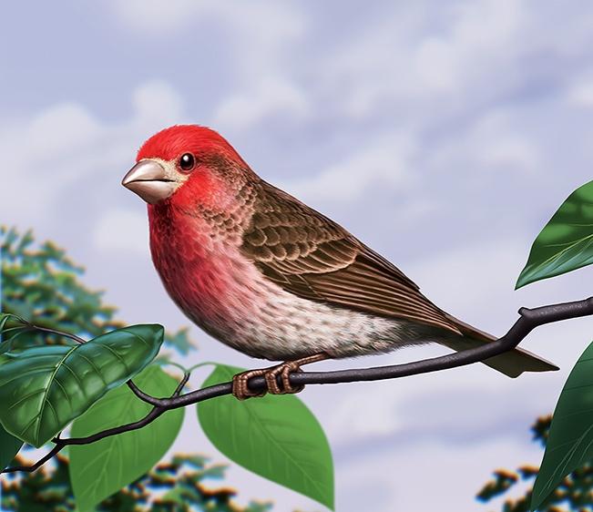 Illustration of a purple finch. (Bird)