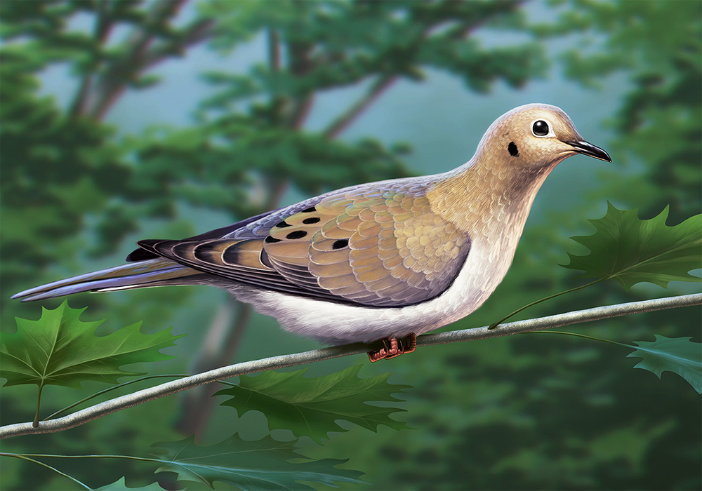 Mourning Dove illustration