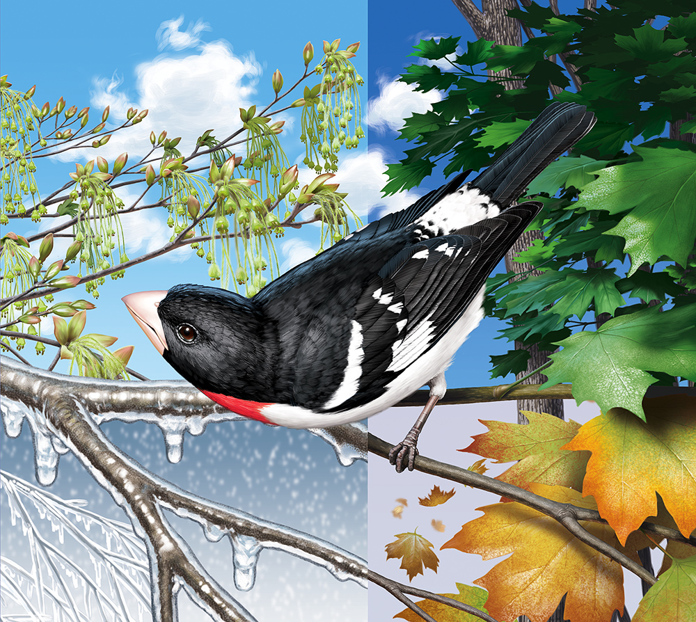 Rose-Breasted Grosbeak, in setting divided into quarters showing winter, spring, summer, fall seasons.