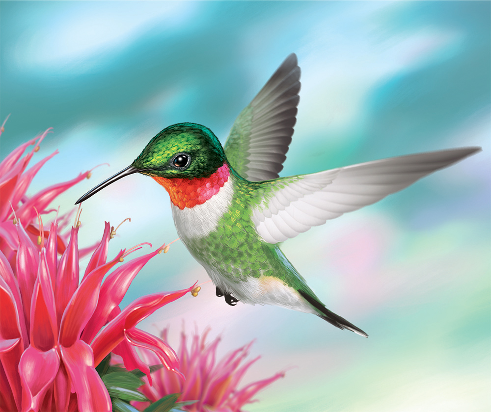 Illustration of a Ruby-Throated Hummingbird.