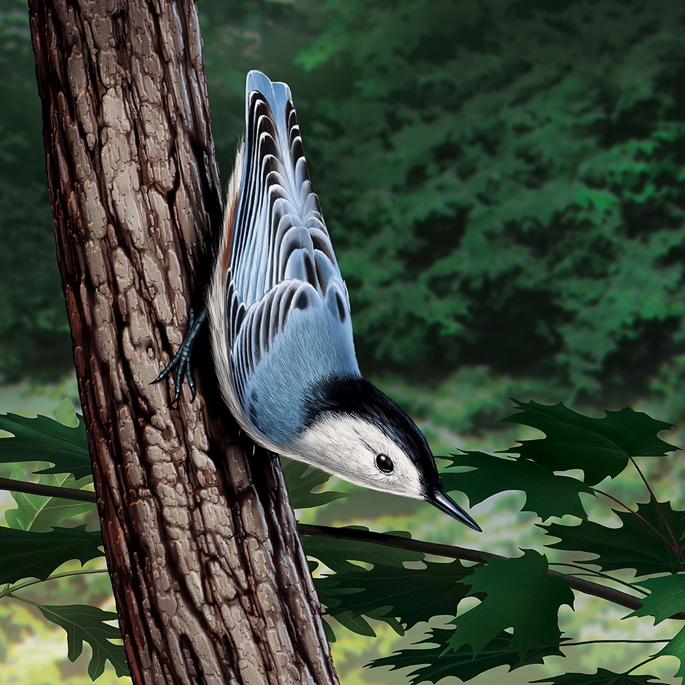 Illustration of a nuthatch clinging to a tree trunk