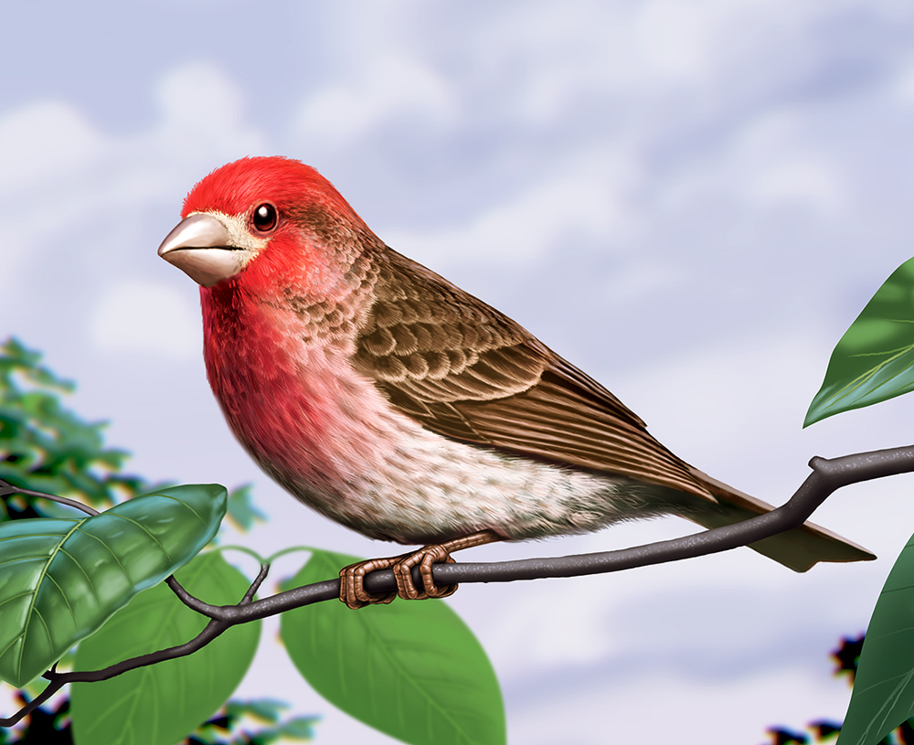 Illustration of a Purple Finch.