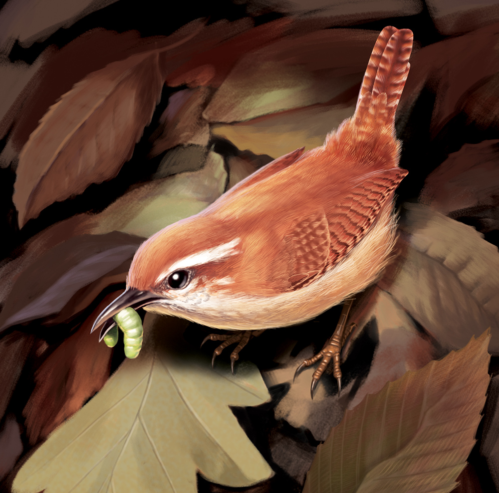 Illustration of a Carolina Wren.